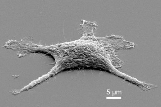 Celulas zumbis são criadas em laboratório